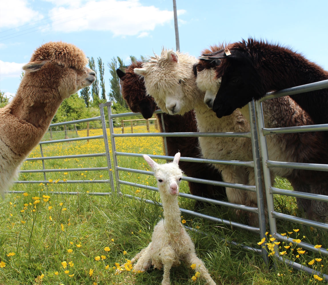 alpacas-looking-over-new-born_1148x1000_acf_cropped