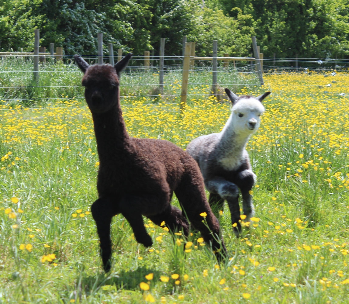 alpacas-running_1148x1000_acf_cropped