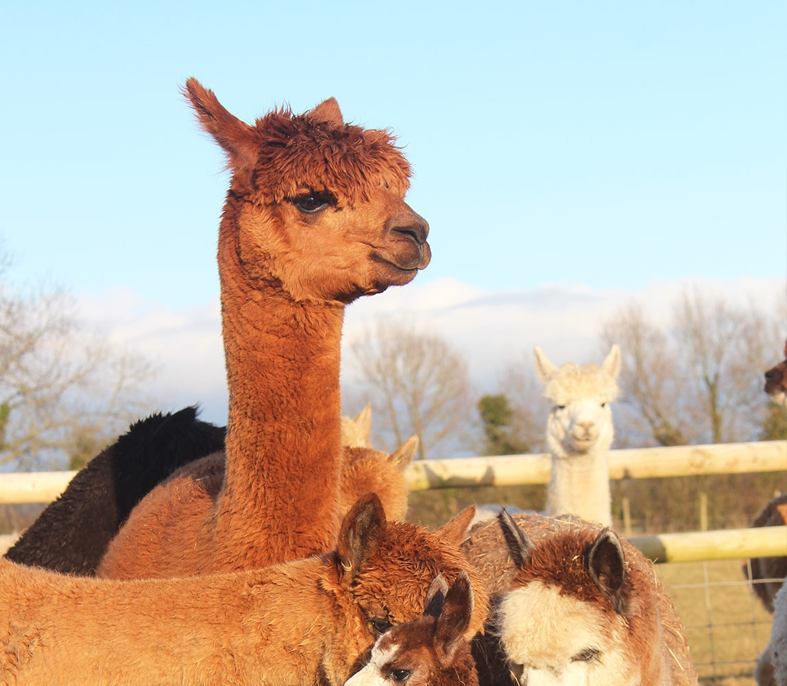 window-alpaca-standing-proudly_1148x1000_acf_cropped