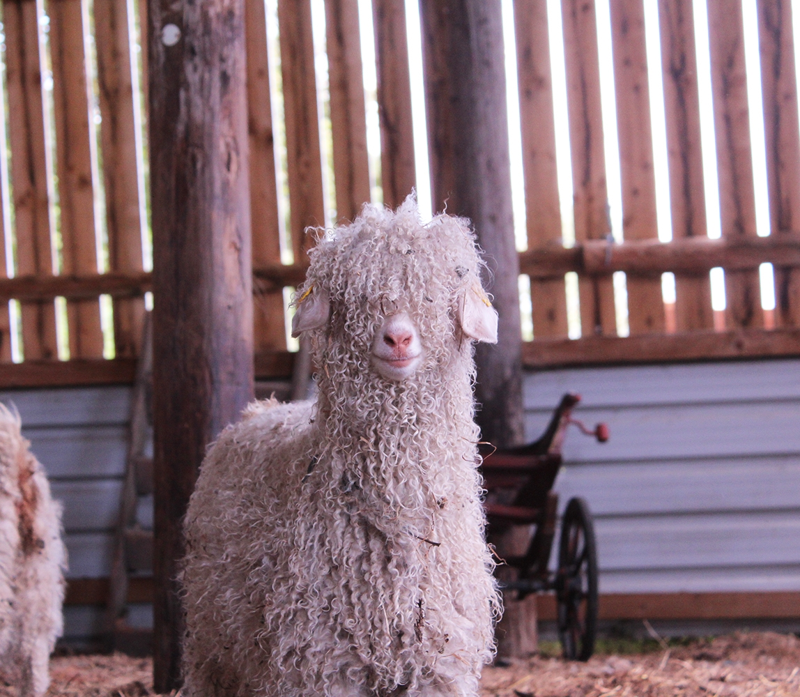 Shaggy-angora-goat-in-a-barn_1148x1000_acf_cropped-1