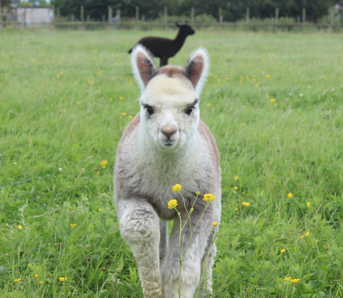 Young-alpaca_1148x1000_acf_cropped