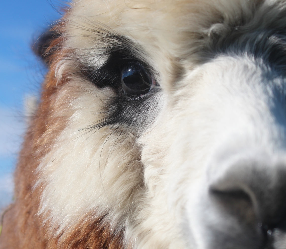 window-alpaca-eye-and-coat-close-up_1148x1000_acf_cropped